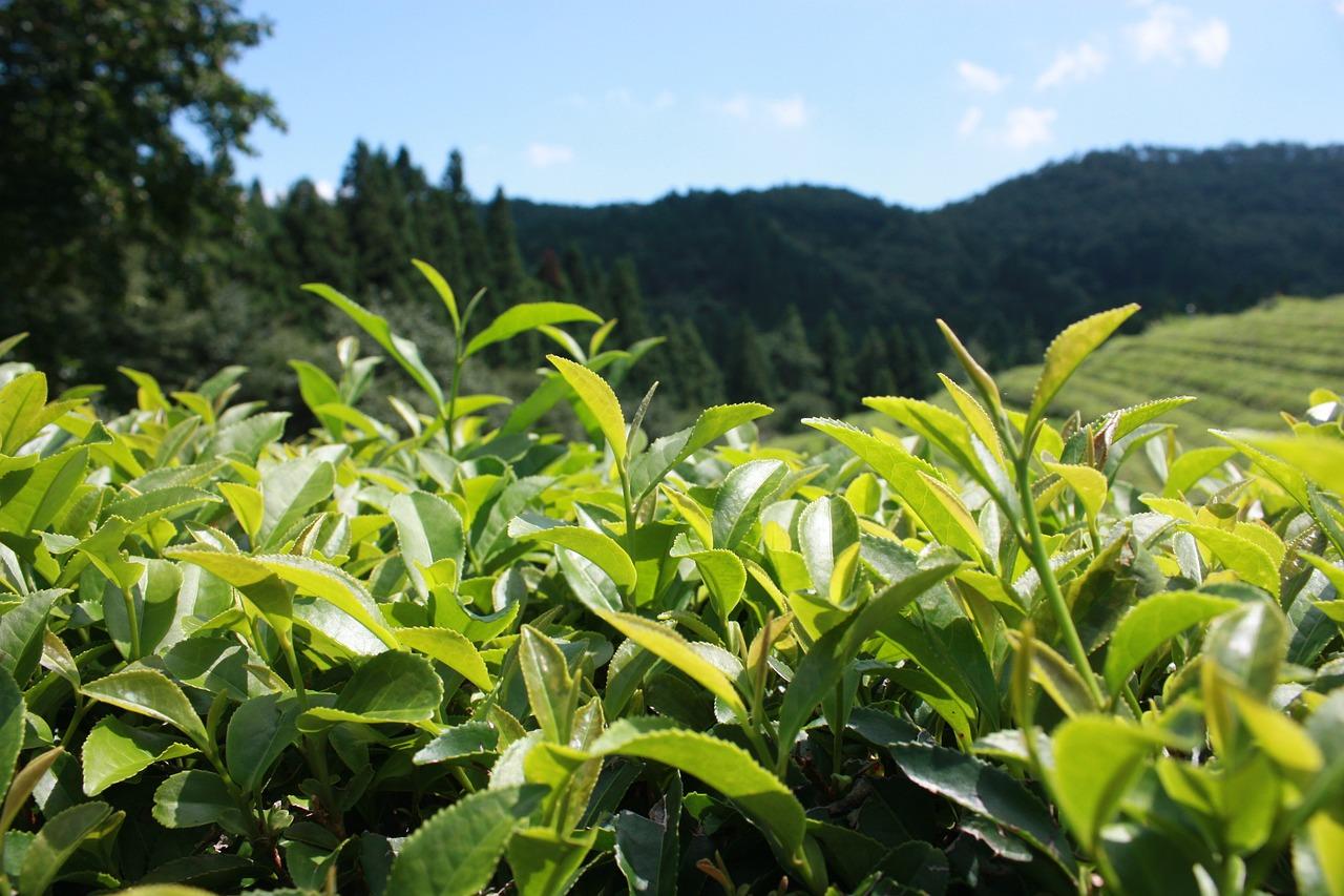 Negatywne działanie zielonej herbaty – kofeina