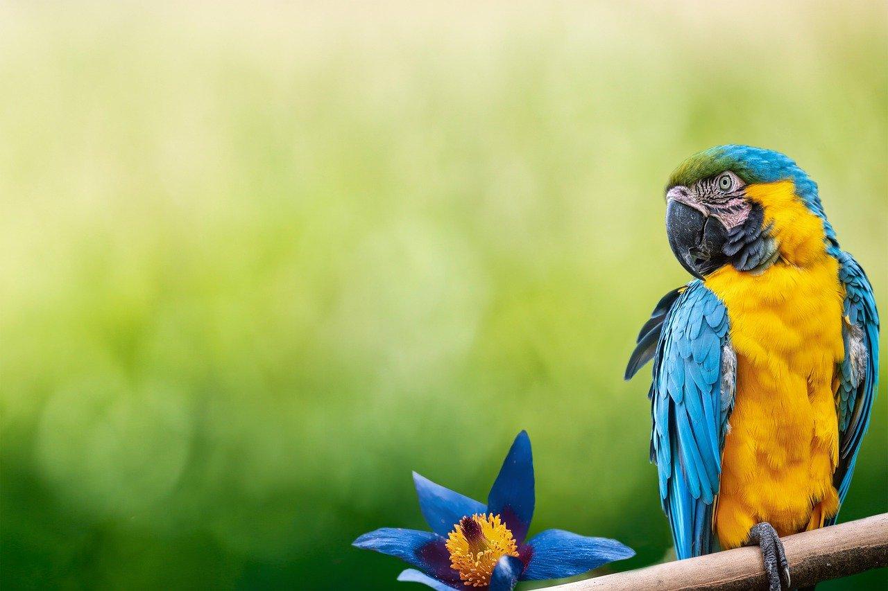 Kupno papugi domowej.